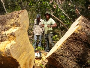 Roberto Espinosa (right) and Guillermo Peira (left) taking advantage of a recently fallen Sideroxylon capiri to cut a cookie for estimating the tree's age.