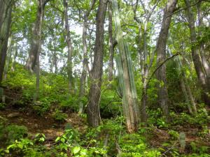 Bosque de Pochote.