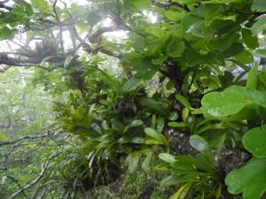 Lonchocarpus phlebophyllus covered in epiphytes at 700 m elevation Cerro Santa Elena 24 julio 2013