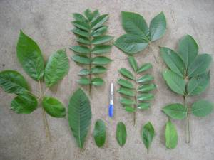 A range of functional strategies are shown and can be measured by calculating specific leaf area which is fresh leaf area divided by dry leaf mass. Low specific leaf area indicates a plant that tends to have high growth and photosynthetic rates.